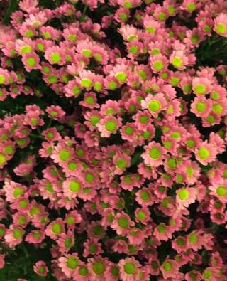 Хризантемы №1
