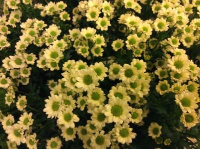 Хризантемы №3
