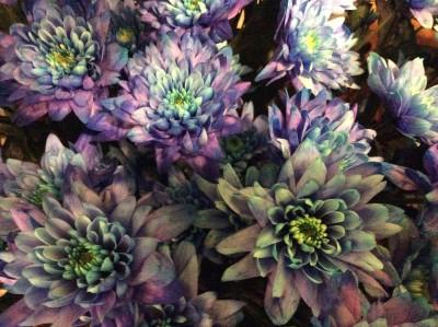 Хризантемы №6