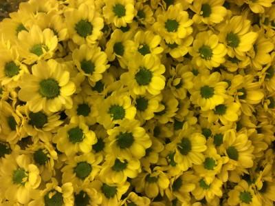Хризантемы №8