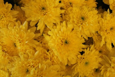 Хризантемы №12