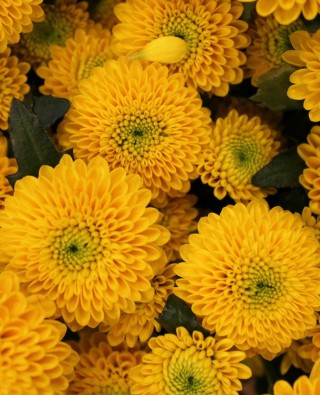 Хризантемы №15